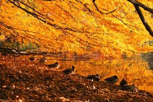 Enten im Herbst